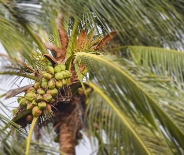 Mature coconut tree